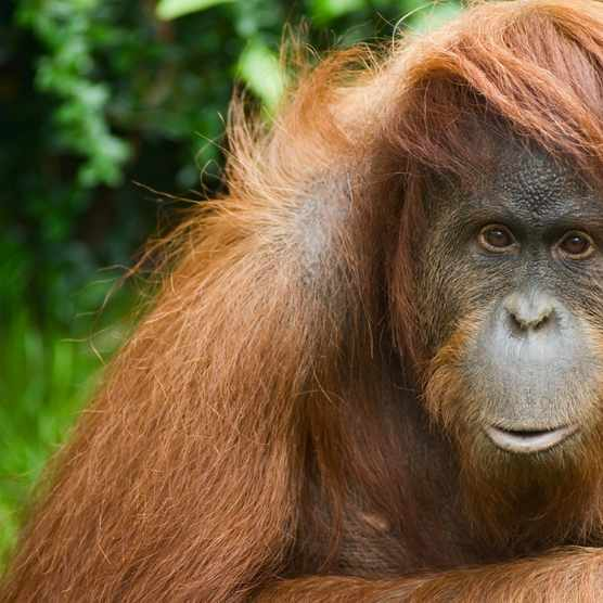 Found only in the north of the Indonesian island of Sumatra, the Sumatran orangutan is one of three species of orangutans. © Getty