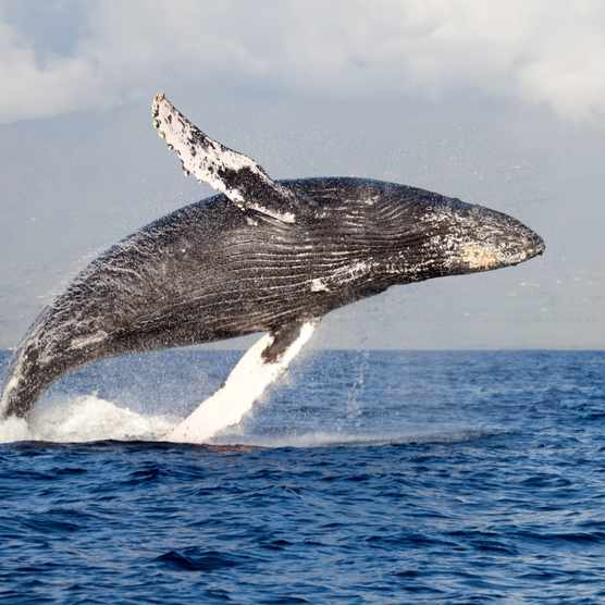 Breaching humpback whale (Megaptera novaeangliae)