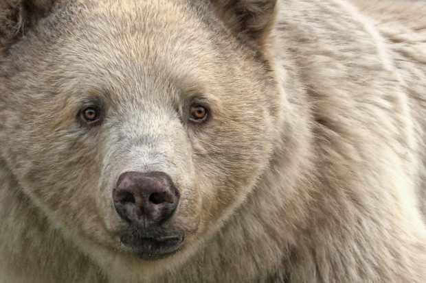 Close up portrait of a spirit bear