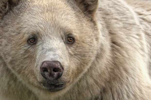 Close up portrait of a spirit bear