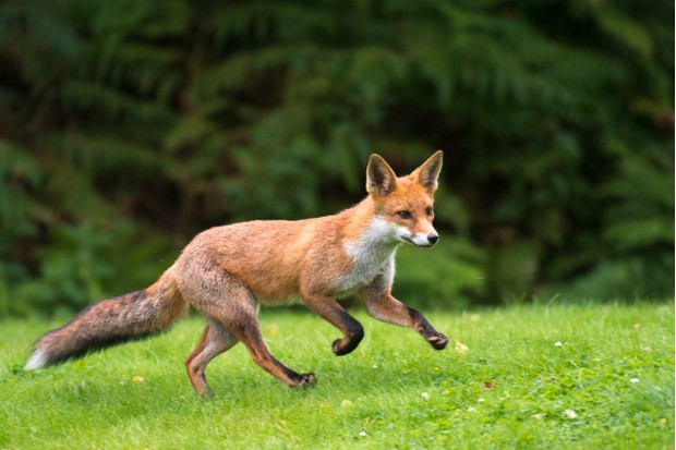 Red fox cub running (Vulpes vulpes), Ashdown Forest, Sussex, England