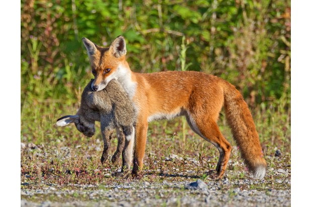 A fox with a dead rabbit that it's just caught
