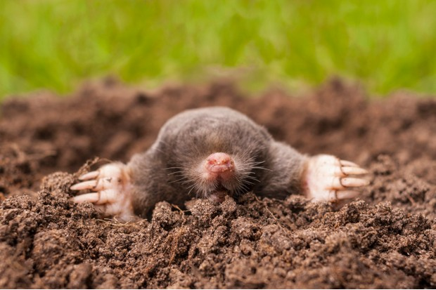 A common mole (Talpa europaea) emerging from a molehill.