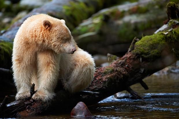 Spirit bear sat on a fallen log in a stream in the Great Bear Rainforest, British Columbia