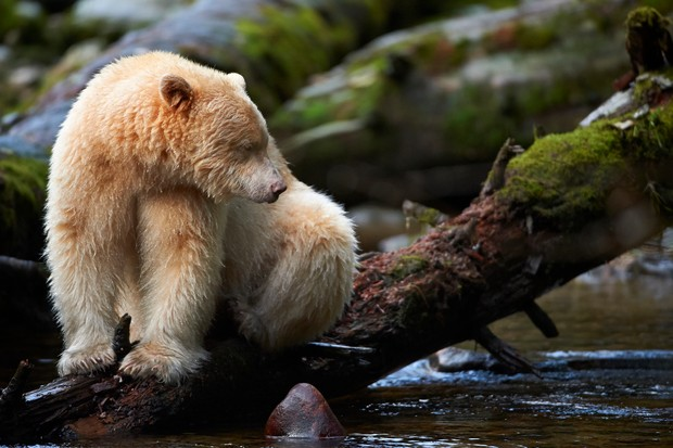 Spirit bear sat on a fallen log in a stream in the Great Bear Rainforest, British Columbia