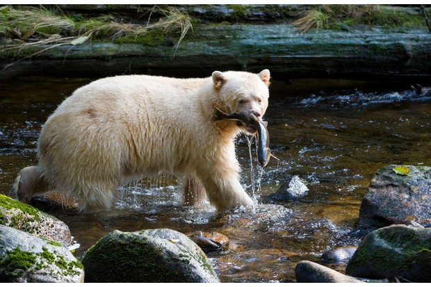 Kermode spirit bear (Ursus americanus kermodei), Great Bear Rainforest, British Columbia