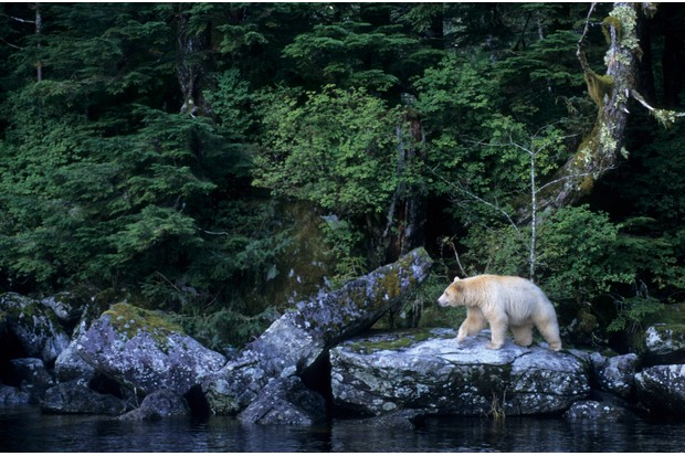 A spirit bear aka kermode black bear on Princess Royal Island, British Columbia