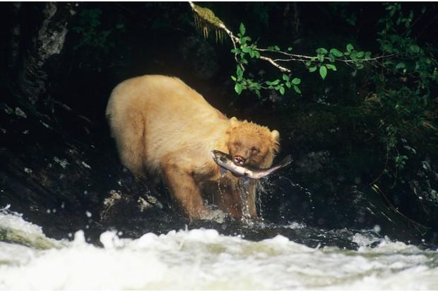 A kermode bear (aka white bear or spirit bear) pulls a salmon from a river