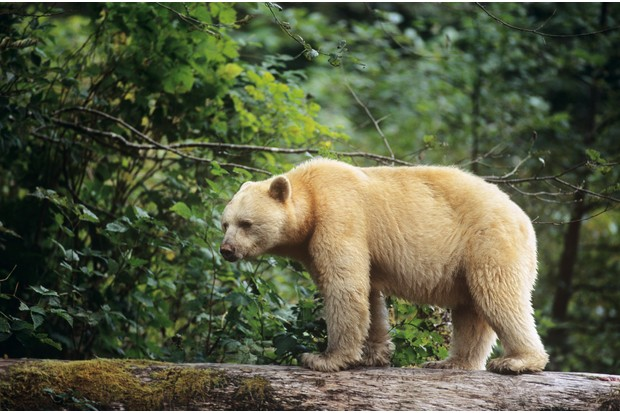Spirit bear walking across log, Great Bear Rainforest, British Columbia, Canada