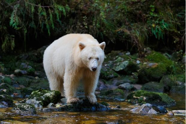 Spirit bear aka kermode bear hunting for salmon in Canada's Great Bear Rainforest