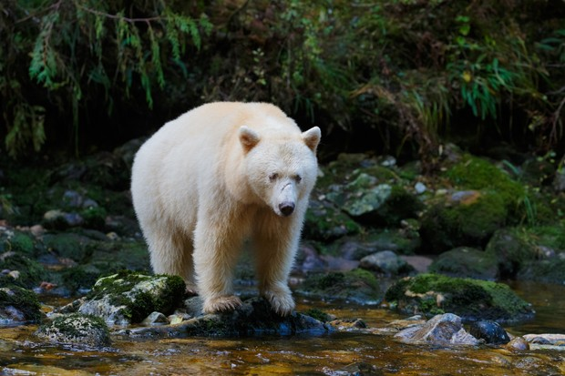 Spirit bear aka kermode bear hunting for salmon in Canada's Great Bear Rainforest