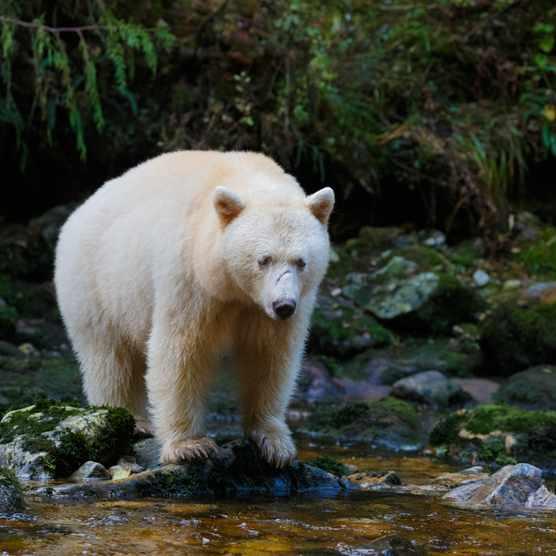 Kermode (Spirit) Bear hunting for salmon in Canada's Great Bear Rainforest