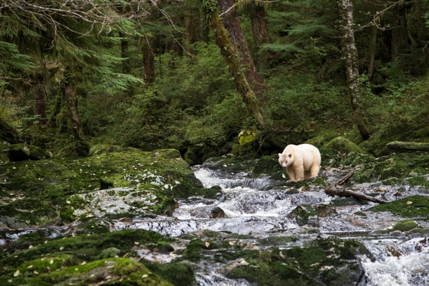 Spirit bear (Ursus americanus kermodei), female, Great Bear Rainforest, British Columbia, Canada