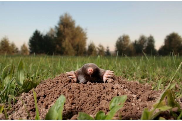 Mole emerging from its molehill in a field
