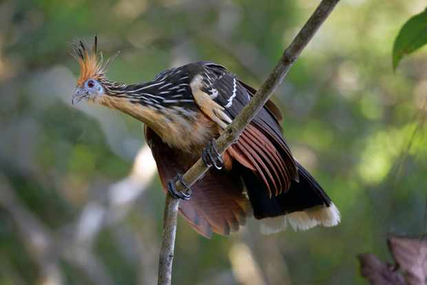 Why does the hoatzin or 'stink bird' stink?