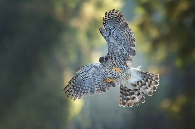 Goshawk in flight in the forest