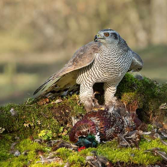Goshawk (Accipiter gentilis) protecting its pheasant prey