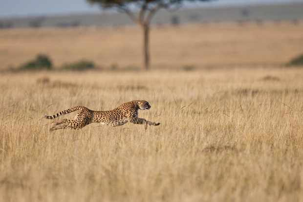 A cheetah can reach speeds of up to 87kph. © Mike Powles/Getty