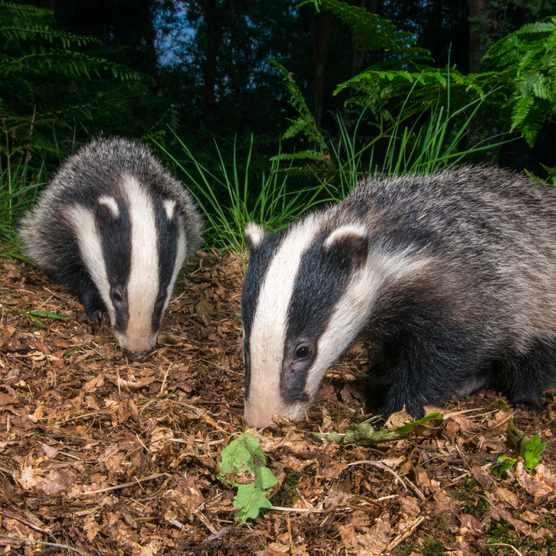 European badger cubs (Meles meles) foraging in oak woods, Ashdown Forest, Sussex, England