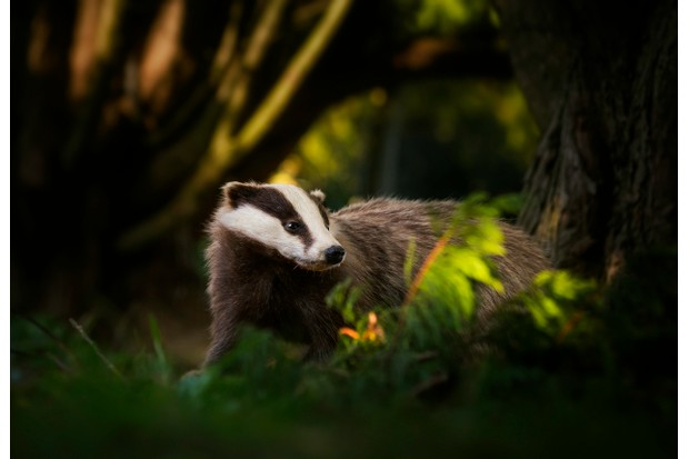 European Badger (Meles meles) on an evening stroll