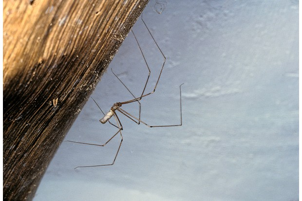 Pholcid spider aka cellar spider or daddy long legs spider