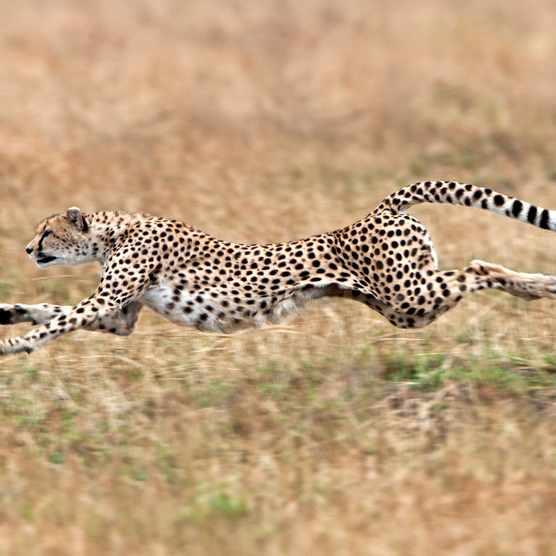 Sprinting cheetah in the Masai Mara, Kenya