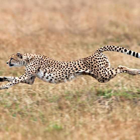 Sprinting cheetah in the Masai Mara, Kenya