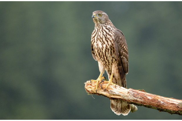 Young goshawk (Accipiter gentilis) perched on an exposed branch