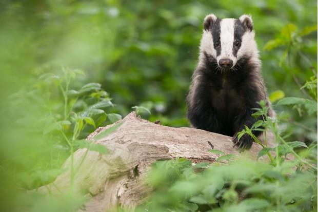European badger (Meles meles) in woodland