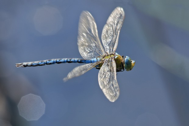 Emperor dragonfly in flight (Anax imperator)