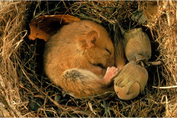 Common dormouse (Muscardinus avellanarius) curled up asleep in nest with hazel nuts