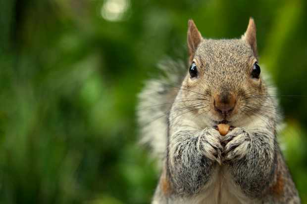 Grey squirrel (Sciurus carolinensis) eating a nut in a park