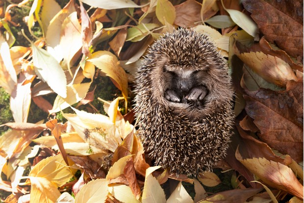 A baby hedgehog born too late to have enough fat reserves for hibernation.