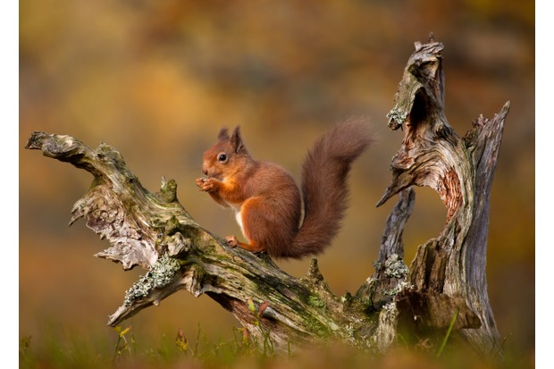 Eurasian red squirrel (Sciurus vulgaris) sitting on an old tree trunk and eating nuts in the Cairngorms, Scottish Highlands.