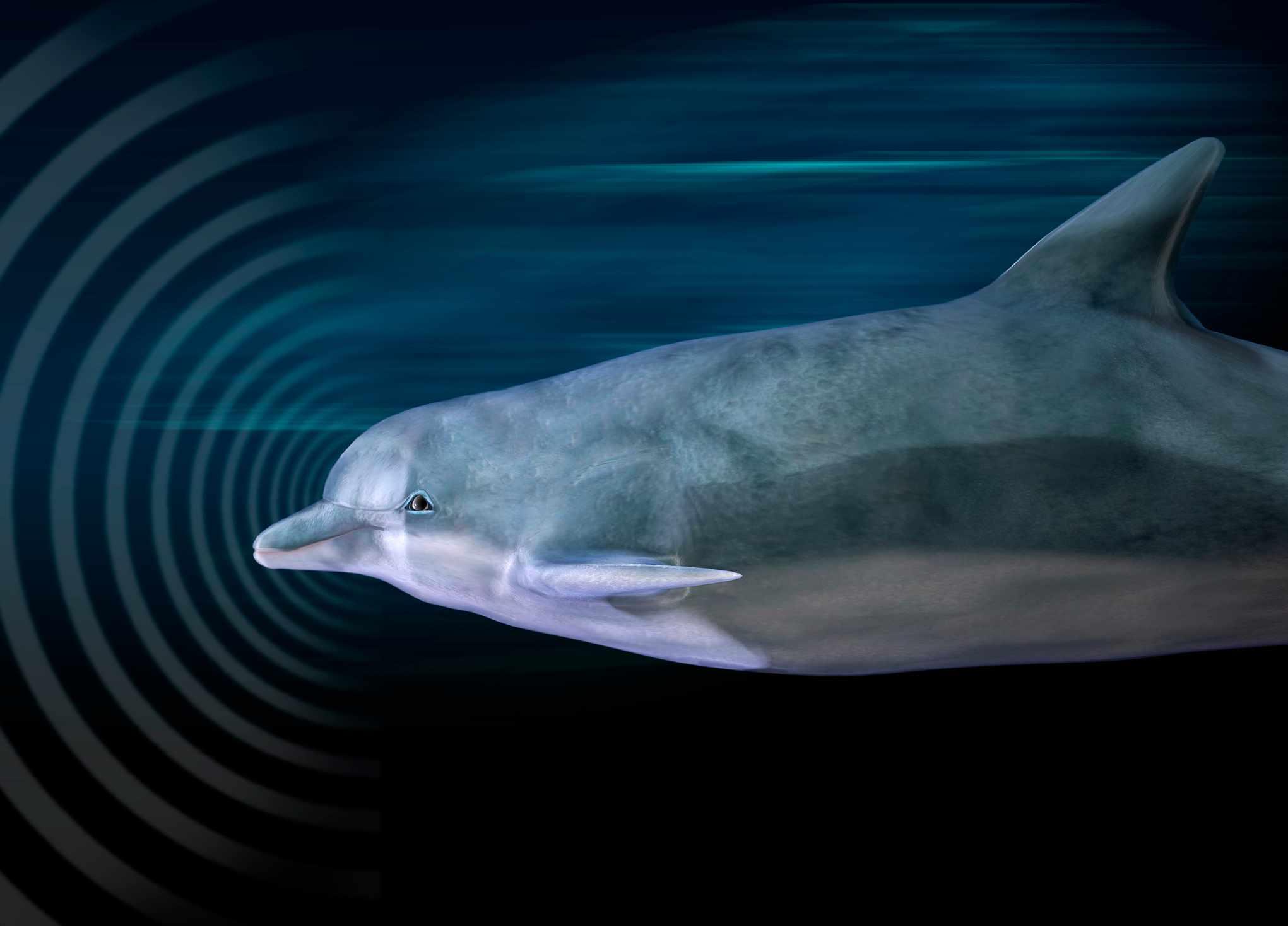 Dolphin using echolocation