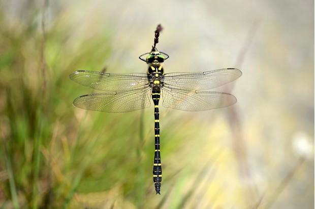 Golden-ringed dragonfly (Cordulegaster boltonii) at rest
