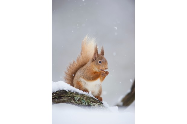 Red squirrel with nuts in mouth in the snow