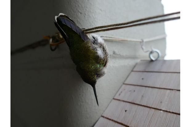 A hummingbird in torpor.