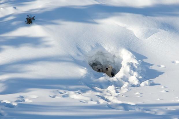Polar bear (Ursus maritimus) cubs looking out of the den