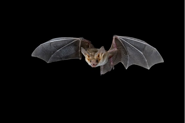 Pallid bat (Antrozous pallidus) in flight, near Portal, Arizona, United States of America, North America