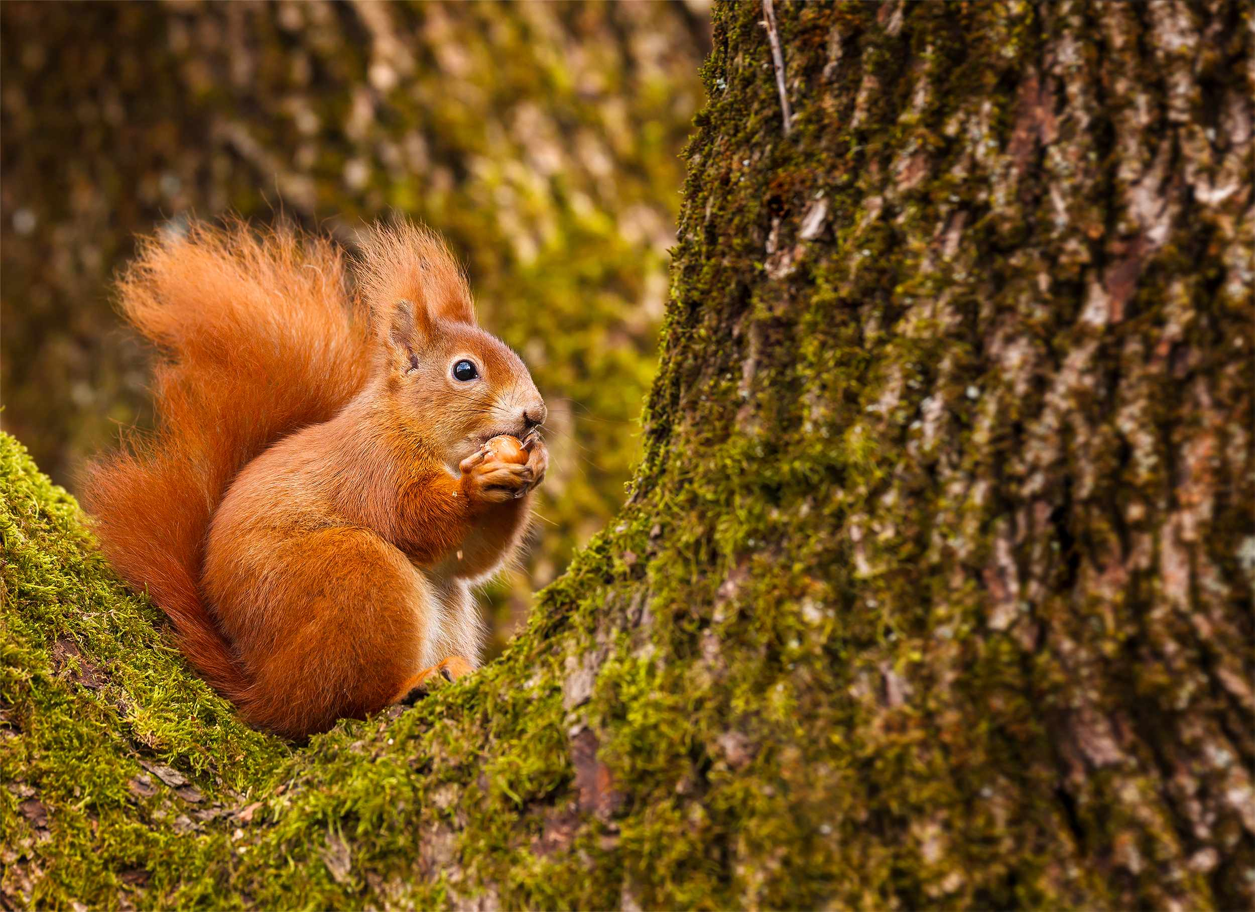Red squirrel munching on a hazel nut © Neil Burton / Getty