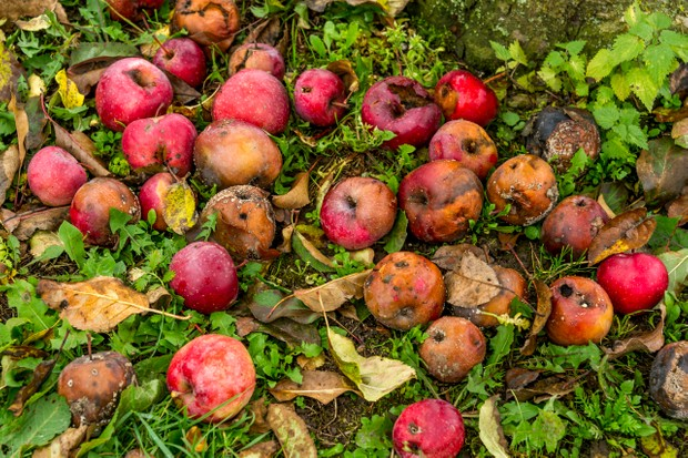 Rotting windfall apples