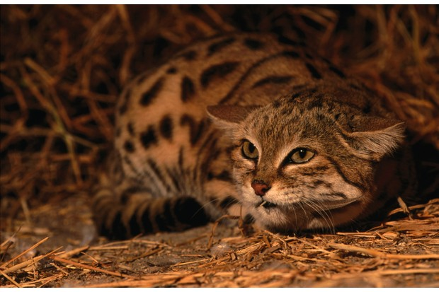 An unhappy black-footed cat (Felis nigripes) from the Kgalagadi Transfrontier Park