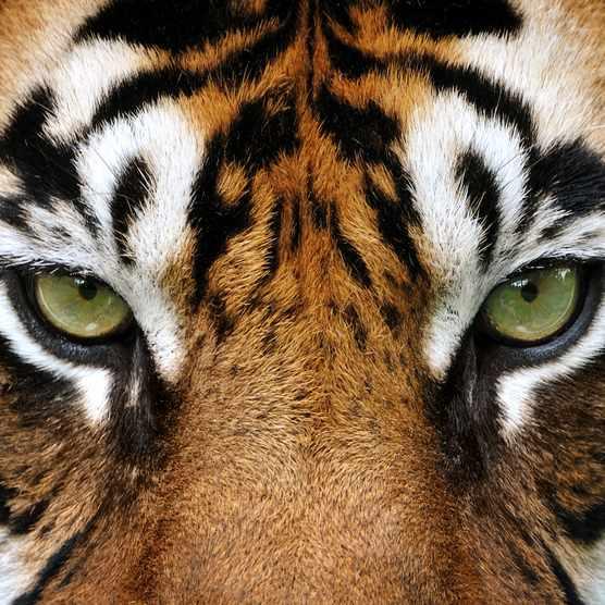 Close up of a tiger's eyes (Panthera tigris)