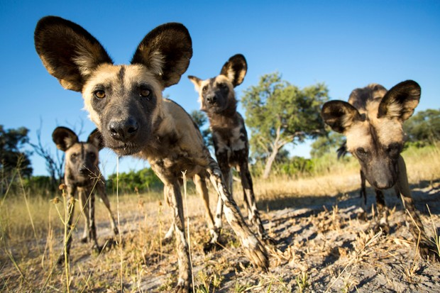A pack of African wild dogs (Lycaon pictus) warily approach remote camera near banks of Moremi River, Moremi Game Reserve, Botswana