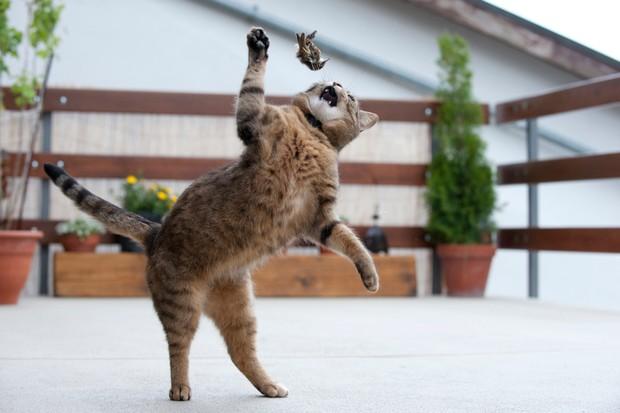 Domestic cat (Felis catus) playing with prey, a dead Common treecreeper (Certhia familiaris)
