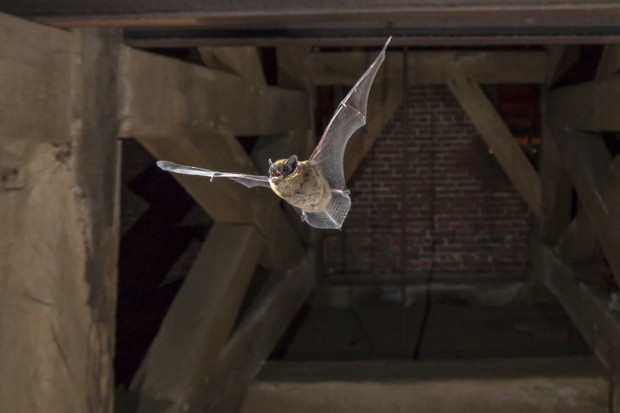 Pipistrelle bat (Pipistrellus pipistrellus) flying in church tower