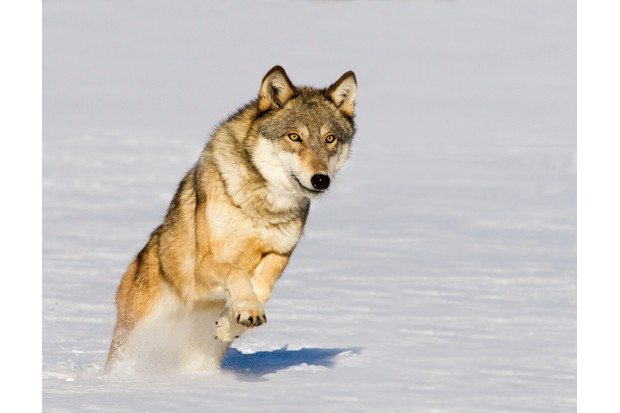Northern timber wolf (Canis lupus occidentalis) running through snow