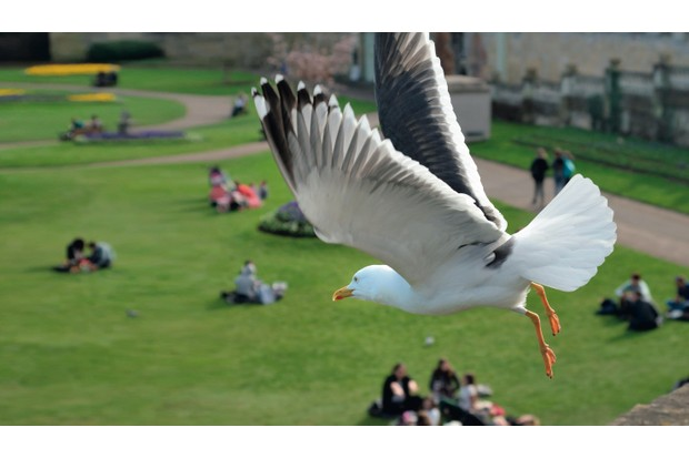 A lesser black-backed gull © Nick Upton/Alamy