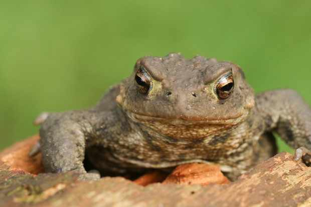 A common toad. © Sandra Stanbridge/Getty